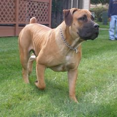African Boerboel | South African Boerboel  I  want one of theses beautiful dogs!!!!