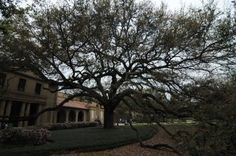 lsu oak tree on campus