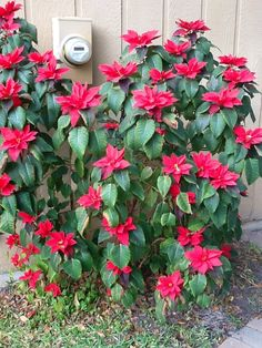 Wow huge Poinsettia plant planted outside!===I planted these Poinsettias a couple of years ago after using the small plants for decoration in the house. -  Does anyone know if I need to cut them back after…