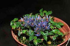 Dendrobium parvulum 'Violet Blue'