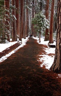 "bluepueblo: ""Snowy Day, The Redwoods, California photo via hilkka "" Parc National, National Parks, Winter Schnee, Yosemite Falls, Redwood Forest, Forest Path, Forest Trail, Forest Road, Destination Voyage"