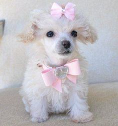 Does this little Poodle Cuddles qualify for puppy love??? what is your opinion???