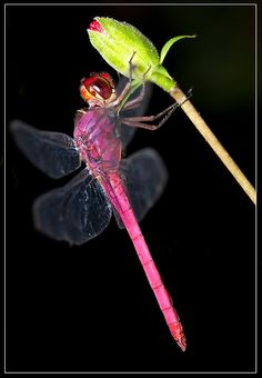 Pink Dragonfly (Insects of Trinidad and Tobago) ~ By Sharon