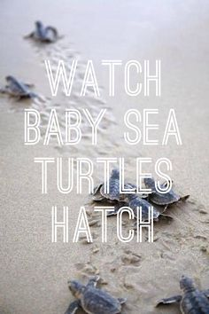 VIEWING ONLY: Sea Turtle Nesting Season begins March 1! (May-October for the Gulf Coast). View hatchings of these endangered and threatened species from MAY-OCTOBER (Leatherback, Loggerheads, and Green Sea Turtles). Although Florida (and the US) has a long history of consuming sea turtles, these majestic creatures are now protected by the federal Endangered Species Act and the Florida Marine Protection Act.