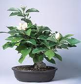 Image result for magnolia bonsai