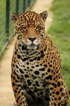 Leopard (WHF)