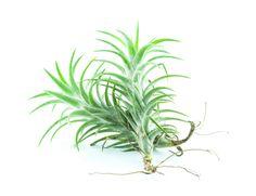 tropical bromeliad care instructions