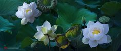 Sen Tuyen 084 by duongquocdinh.deviantart.com on @deviantART
