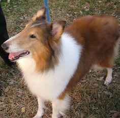 Elliott is a very happy & sweet collie and is about 7-8 years old. He  LOVES  people (a little nervous with very young children, however) and  just  wants to hang out with you or to go for a walk. He knows some  basic  commands like sit & down. He...