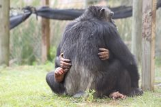 Gabe and his mother, Gabby at Save the Chimps in Ft. Pierce, Florida
