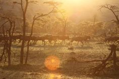 #Wildebeests at #sunrise - shot by ADS guest