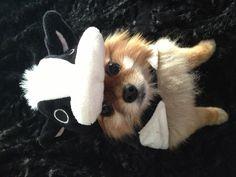 Mooo... Cow Costume for Pomeranians