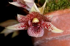 Promenaea species (Eric Hunt.) Tags: california red orchid flower yellow orchidaceae spotted promenaea