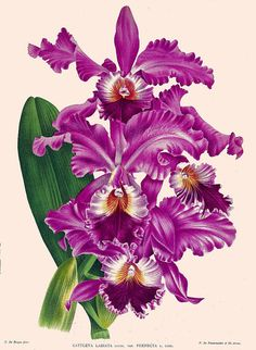 antique french botanical print purple orchid by FrenchFrouFrou