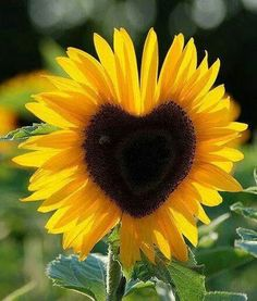 Flowers, Heart Shaped Sunflower