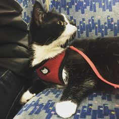 On the train with @pondjumpers_ #frankie #blackandwhite #kitten #fluffy #train #cat