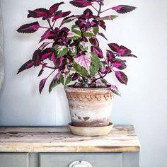 Från en liten stickling som jag fick för ca 5 månader sen. Den trivs så bra i mitt köksfönster kan jag konstatera. Mycket ljus behöver den för att bladen ska bli sådär härligt röda. #palettblad #palettbladunite