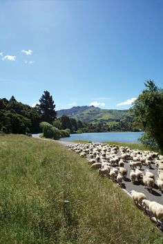 Sheep Farming, Akaroa , South Island, New Zealand