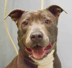 Brooklyn Center FELICITY – A1044576 FEMALE, GRAY / WHITE, AM PIT BULL TER MIX, 4 yrs STRAY – STRAY WAIT, NO HOLD Reason STRAY Intake condition EXAM REQ Intake Date 07/18/2015 http://nycdogs.urgentpodr.org/felicity-a1044576/