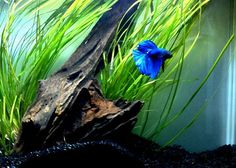 Planted Tank and Aquarium discussion forum. Betta Aquarium, Aquarium Terrarium, Home Aquarium, Aquarium Design, Planted Aquarium, Tropical Freshwater Fish, Freshwater Aquarium, Tropical Fish, Betta Tank