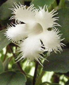 The Garden Geeks Plant of the Day: Lace Flower (Alsobia dianthiflora) A creeping, terrestrial, perennial Houseplant.