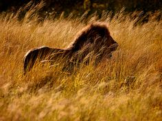 Photo: Male lion stalking in tall grass, Serengeti, Tanzania - The Serengeti offers an epiphany to most visitors: Wildness still has a place in our world. Out on the sun-drenched grasslands of Tanzania, life is elemental. (photographer Jim Richardson)