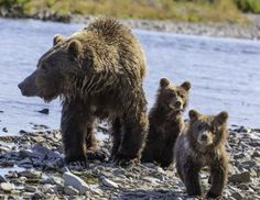 Trump Administration and Key House Republicans Push for Aerial Gunning of Grizzly Bears and Wolves | Alternet / http://www.alternet.org/animal-rights/trump-administration-and-key-house-republicans-push-aerial-gunning-grizzly-bears-and