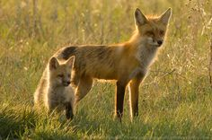 Red fox kits | Red Fox and Kit | Flickr - Photo Sharing!