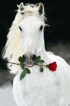 "This Horse Looks so Magical ♥ No wonder it is dreaming of the ""Run For The Roses"". Isn't it beautiful with pure white coat, dark eyes and nostril area. Beautiful Horse Pictures, Most Beautiful Horses, Animals Beautiful, Cute Horses, Pretty Horses, Horse Love, Cute Baby Animals, Animals And Pets, Farm Animals"