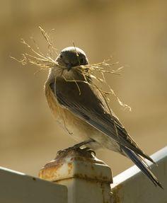 theperfectworldwelcome:  colorel11:  ©GLLpmj Female blue bird making a nest    Beautiful !!! O/