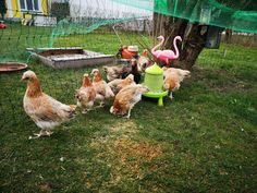 Junghühner Sulmtaler