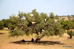 """Goats in a tree: Argan trees (if not totally denuded by tree climbing goats) can live as long as 150-200 years and they produce fruit from which Argan oil is made. But the trees are thorny and harvesting it is sometimes left to goats. The goats """"pass"""" the seeds, which local people grind and press for Argan oil. Some people put it on bread; others rub it in their hair. Oil """"processed"""" by goats: $15.00 for 32 ounces. Oil processed by other means: $75.00 for two ounces."""