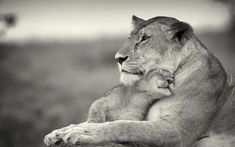 Baby Lion cuddling with mama lion