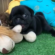 Cute Pugs, Cute Dogs And Puppies, Cute Funny Animals, Cute Baby Animals, Funny Dogs, Animals And Pets, Doggies, Cute Puppy Videos, Funny Animal Videos