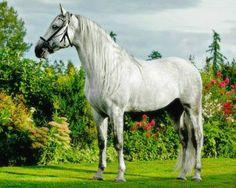 Pura Raza Española stallion Bandolero CLXXVI.