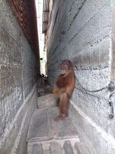 Baby Orangutan Was Chained Between Two Buildings — And Left There For A Year - Born to roam free in a natural green habitat with others & mankind does this - what an indictment on us all !