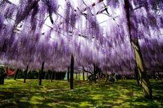 wisteria blossoms in kawachi fuji garden