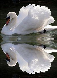beauty in nature: Beautiful Beautiful swan Love Moments Beautiful Swan, Beautiful Birds, Animals Beautiful, Stunningly Beautiful, Beautiful Things, Pretty Birds, Love Birds, Animals And Pets, Cute Animals