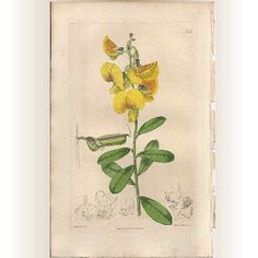 Original Hand-Coloured Copperplate Botanical Engraving, Syd Edwards @rubylanecom #rubylane #VintageEngraving