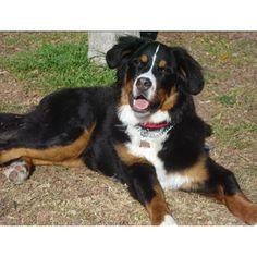 Bermease Mountain Dog