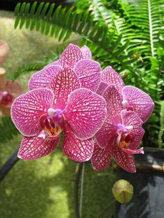 https://flic.kr/p/e27Z3f | Orchid | Orchids at Longwood Gardens, Philadelphia March 2013