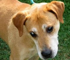 Bo: SENIOR PROGRAM is an adoptable Hound Dog in Parkersburg, WV. Bo is my name. I am a 7 year old Hound, Lab mix who was brought to the shelter on July 27, 2012 by the officers as a stray. I am a '...