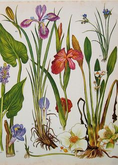 iris, botanical illustration.