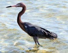 Heron on Padre Island National Seashore.