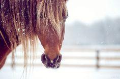 chestnut horse in snow