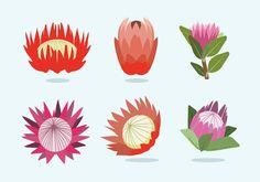Protea Flower Vector - Download Free Vector Art, Stock Graphics ...