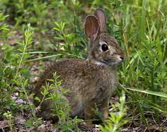 2005 Photograph, Eastern Cottontail Rabbit (Sylvilagus floridanus), Occoquan Bay NWR, Woodbridge, Virginia © 2006.