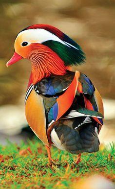 Un canard mandarin Colorful Animals, Colorful Birds, Nature Animals, Animals And Pets, Cute Animals, Baby Animals, Exotic Animals, Pretty Animals, Tropical Birds