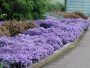 Ground Cover Plants for sun or shade! Groundcovers are fast-growing like Sedums, Heucheras, ornamental grasses, & KnockOut Roses.