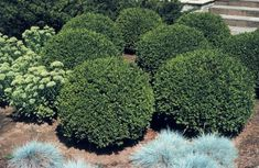 Green Gem Boxwood – Sheridan Nurseries